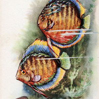 Symphysodon Discus (Artist L. Aristov) Vintage Postcard - Printed in the USSR, «Soviet Artist», Moscow, 1968