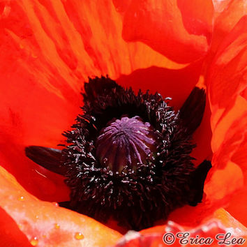 Orange Red Poppy Flower Photography, nature photo, macro flower photograph, floral wall art, 5x5 8x8 12x12 print