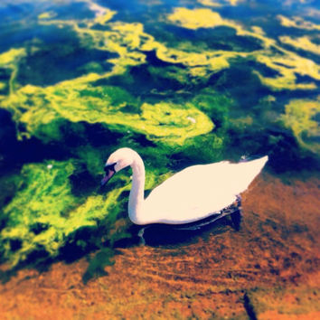 Swan in Moss | Nature Photography | White Swan | Green Moss | Blue Lake | Landscape | London | Hyde Park
