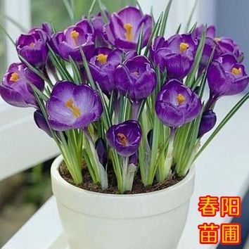 crocus seed potted plants flower balcony plants 10 seeds