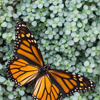Real Monarch Photography Print