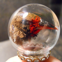 Taxidermy Painted Finch Head Snow Globe Ring