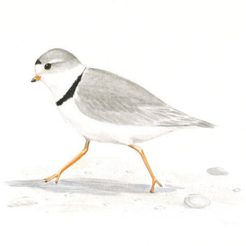 Original Bird Painting Piping Plover by ABFoleyArtworks on Etsy