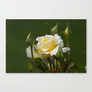 White Licorice Roses Canvas Print by Glenn Franco Simmons