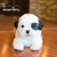 Buy a Shih Tzu puppy , from Dreamy Puppy available only at DreamyPuppy.com Place a $200.00 deposit online!