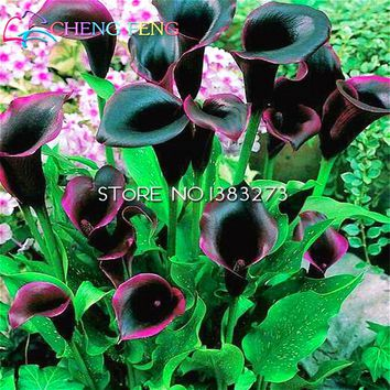 Free Shipping 30 Pcs / Lot Calla Lily Seeds Flower Mixed Red And Black Home Indoor Plants Bonsai Seed Good Gift For New Garden