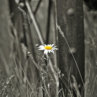 Fine Art Flower Photography, Matted Print and Photo Card of a Single Daisy in Black & White with a Splash of Color, Simplicity, Wall Decor