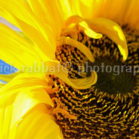 Sun Flower - Fine Art Photography Flower Macro Close-Up Sunflower Yellow Sunny Blue Sky Light Cheery Colorful