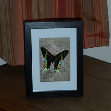 Green-banded Sunset Moth mounted in a real wood  shadow box frame
