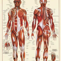 Muscular System Education Poster 26x38