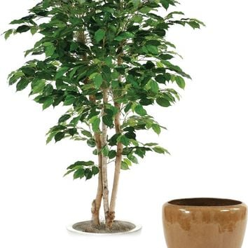 6' Bushy Green Ficus Tree In Glazed Mocha Stoneware Pot