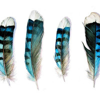 Blue Jay Feather Group Art Print by Jody Edwards Art