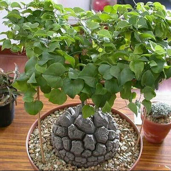 3 Elephant's Foot Seeds Dioscorea Elephantipes Rare Exotic Beautiful Flower Bonsai Plant DIY Home Gardening Potted Decor Design DIY