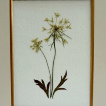 Real Queen Anne's Lace Vintage Style  Botanical Herbarium Specimen Art 8x10 French Mat
