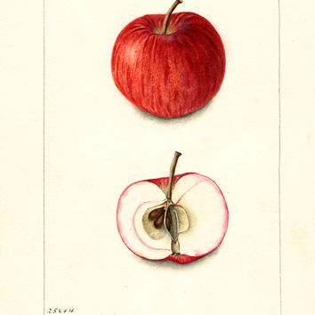 Apples, Fays Early Joe (1902)