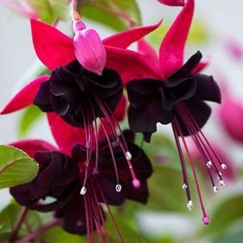 120PCS Purple Double Petals Fuchsia Seeds Potted Flower Seeds Potted Plants Hanging Fuchsia Flowers