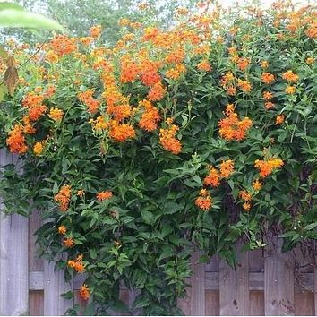 Mexican Flame Vine Seeds (Pseudogynoxys chenopodioides) 25+Seeds