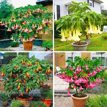 100 pcs Bonsai Datura Seeds Rare Datura Flower Seeds Angel Trumpets For Home Garden Beautiful Potted Ornamental Plants