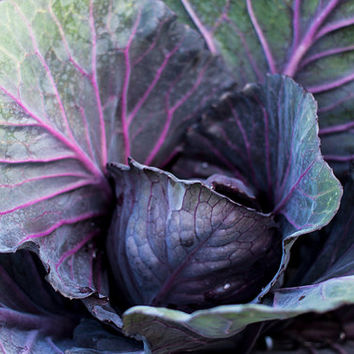 Photo Alaskan Cabbage, Garden Photography, Macro Photography, Food Photography, Kitchen Wall Art, Vegetable Art, Food Wall Art, 4x6-24x36