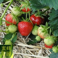 100 Strawberry Seeds Four Seasons Saplings Potted Plants Flowers Indoor Balconies Creams Fruit Seeds Vegetables