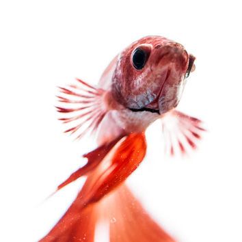 The Inquisitor - Betta Fish - Fine Art - Photography - Pet Lover Gift - Red - Animal - Goldfish - Siamese Fighting Fish - Gift Idea - Art