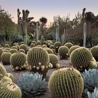 Barrel Cactus Mix Seeds (Echinocactus Species Mix) 20+Seeds