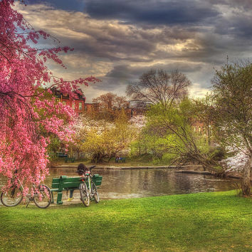 Cherry Blossom Trees On The Charles River Basin In Boston