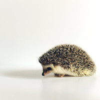 Hedgehog Study II White 8x10 Photographic print