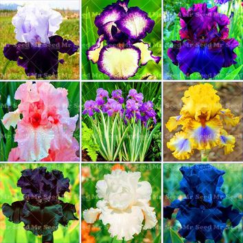 20PCS Iris plant,bonsai flower plant  Heirloom Iris Tectorum Perennial Flower plant  Rare for home garden Indoor flower plants