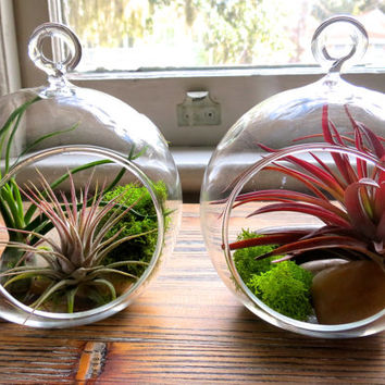 Set of Two Gorgeous Handblown Glass Terrariums with Tillandsia Air Plants including Ionantha Guatemala, Bulbosa, & Velutina