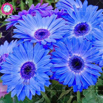 100Pcs Bonsai Blue Daisy seeds Perennial indoor flowers plants Flower Seeds Bellis Perennis for home garden plant easy to grow