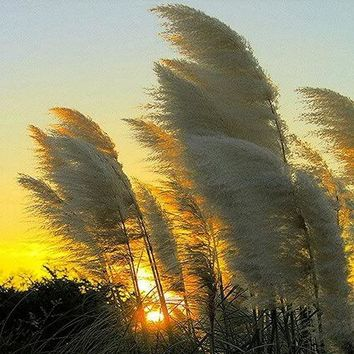 Pampas White Ornamental Grass Seeds (Cortaderia selloana) 200+Seeds