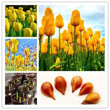 5pcs Bulbs True Yellow Tulip Bulbs (Not Tulip Seeds),Tulips Variety Fresh Bulbous Root Flowers Planted flower bulbs good quality