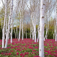 White Paper Birch Tree Seeds (Betula papyrifera) 50+Seeds
