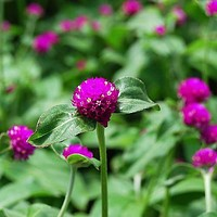 Gomphrena Purple Globe Flower Seeds (Gomphrena Globosa) 50+Seeds
