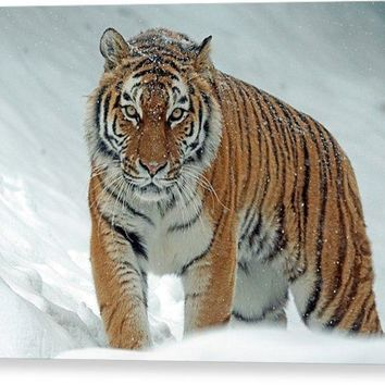 Tiger In Winter - Canvas Print