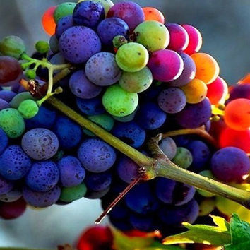30 Rare Rainbow Grape Seeds | Colorful Fruit Organic Grapevine Vine | Heirloom Sweet Vine Plant Home Garden Farm Vineyard