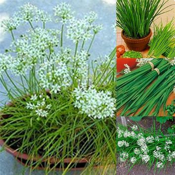 100pcs Leek seeds Green Vegetable Seeds delicious Chinese chive seeds courtyard bonsai plant for home garden
