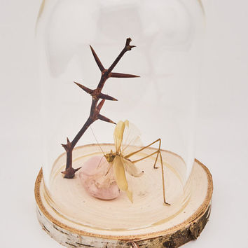 Real Katydid, Live Edge Display, Glass Display, Halloween, Bug Taxidermy, Katydid Display, Insect Art, Unique Gift, Collectible Oddity