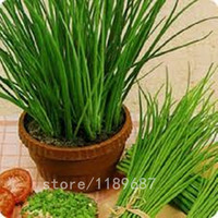 200pcs Chives seeds Herb Seeds Garlic Chives Organic Russian Heirloom vegetable Seeds bonsai potted plant for home garden