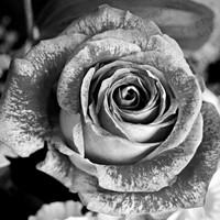 DIGITAL BLACK and WHITE download photography, rose photo, instant download, nursery wall art, fine art flower picture, pink rose download