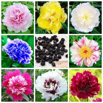 10 Pcs/Lot Paeonia Lactiflora Seeds Heirloom Tree Peony Seeds Hardy Perennial Bonsai Plant Home Garden Potted Flowers