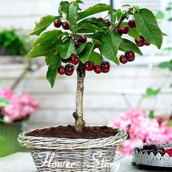 20PCS Cherry Seeds Cherry Prunus Avium Flower Tree Seed Black Free shipping