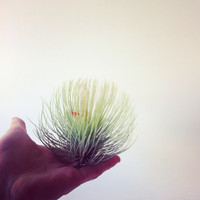 Airplant (Tillandsia)