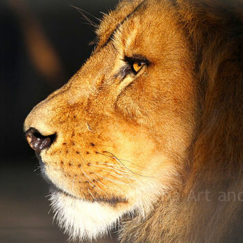 Lion Greeting Card for Birthday, All Occasion, Animal Fine Art Photography