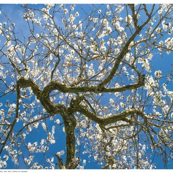 Almond Blossoms in Spring Art Print