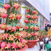 200seeds dragon fruit pitaya fruit Organic heirloom fruit and vegetable seeds Natural growth dragon fruit plant for home garden