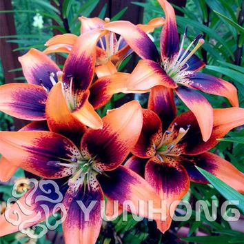 HOT Sale True Lily Seeds,24 Colors,( lily Seeds),Flower Lilium Bulbs,Faint Scent,Bonsai Pot Plant For Home gGarden -100PCS