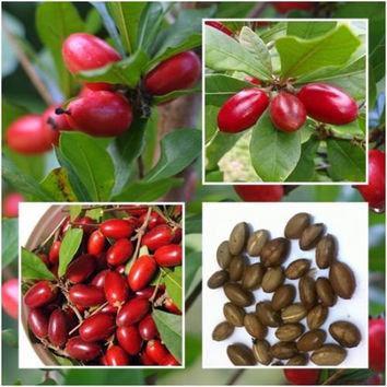 10 Rare Miracle Fruit (Synsepalum dulcificum) Seeds Tropical Exotic Berry - Organic Grown Plants -  Seasonal Delicious Juicy Fruits