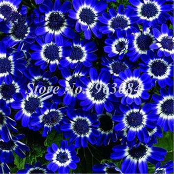 Blue Cineraria Seed Indoor Rare Flower Seed The Germination Rate 95% Exotic Bonsai Plant Garden Pots Planters 200 Pcs